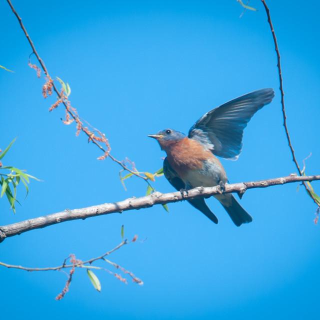 """Male Eastern Bluebird (Sialia sialis) in Courtship Ritual"" stock image"