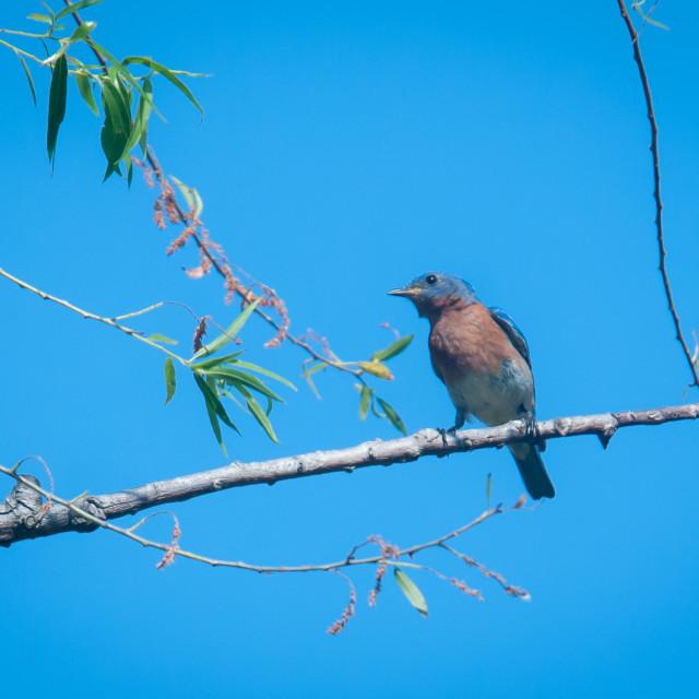 """Male Eastern Bluebird (Sialia sialis)"" stock image"