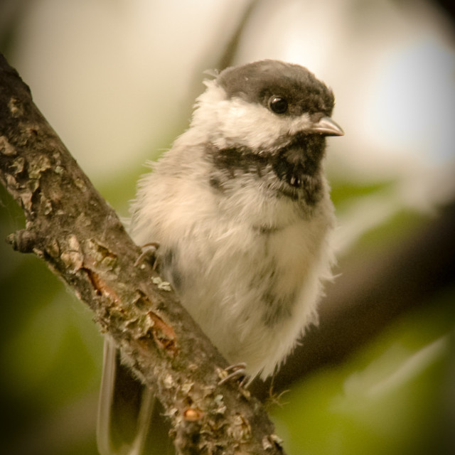 """Black-Capped Chickadee on Perch (Poecile atricapillus)"" stock image"
