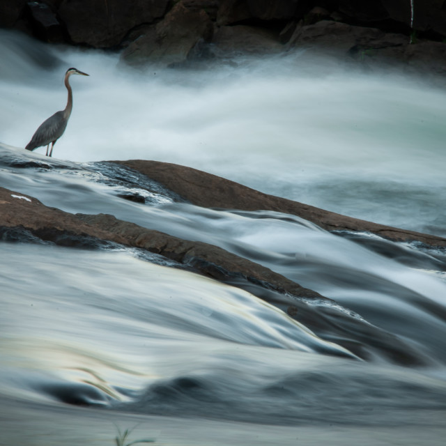 """Great Blue Heron (Ardea herodius) Fishing on the Chattahoochee River"" stock image"