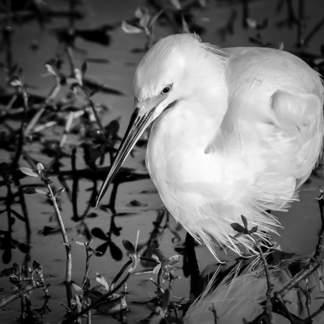 """Snowy Egret (Egretta thula) Fishing for a Meal"" stock image"
