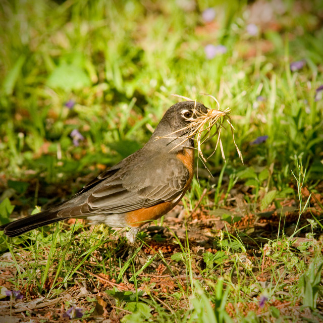 """Robin Building a Nest in the Spring (Turdud migratorius)"" stock image"