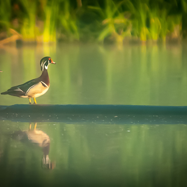 """Pair of Wood Ducks (Aix sponsa) on a Log"" stock image"