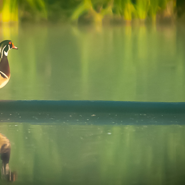 """Wood Duck (Aix sponsa) Sitting on a Log"" stock image"