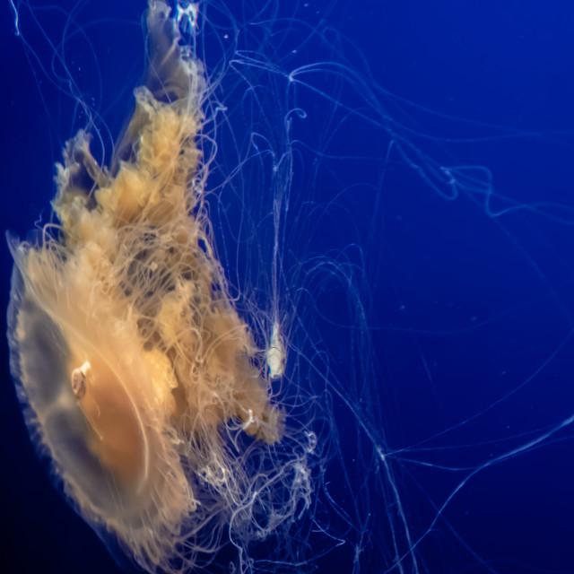 """Jellyfish at the Monterey Bay Aquarium"" stock image"