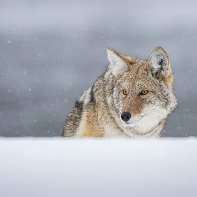 """""""Coyote on the lookout"""" stock image"""
