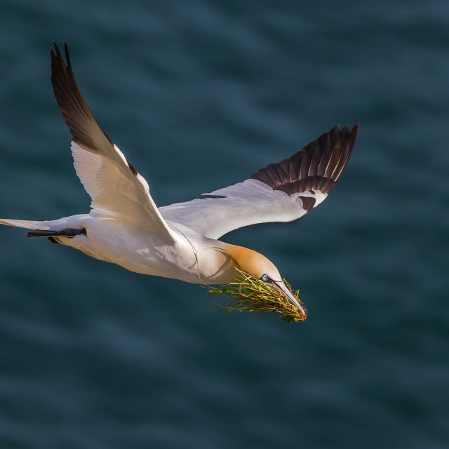 """""""Gannet with nesting material"""" stock image"""