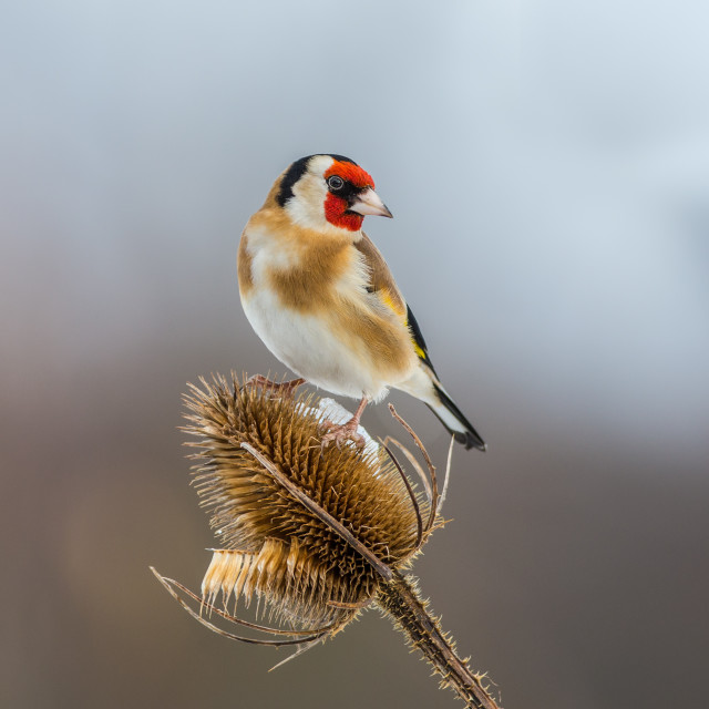 """""""Goldfinch on Teasel"""" stock image"""