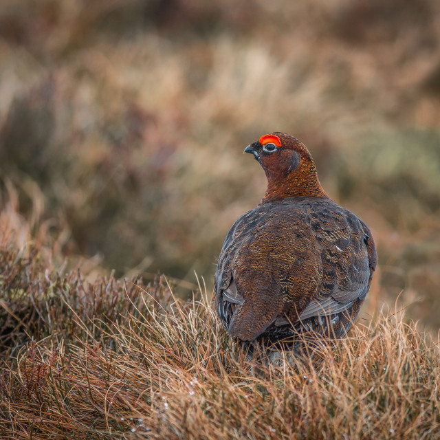 """""""Red Grouse on moorland"""" stock image"""
