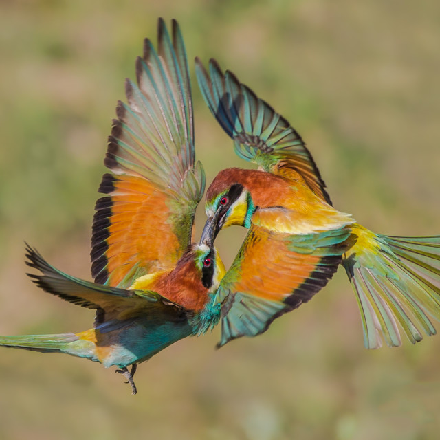 """Kissing Beeeaters"" stock image"