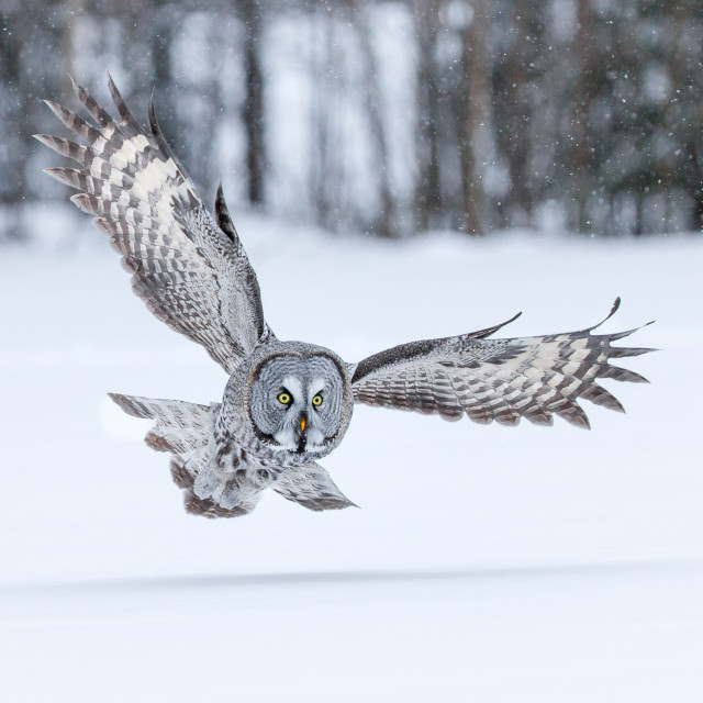 """Great Grey Owl"" stock image"