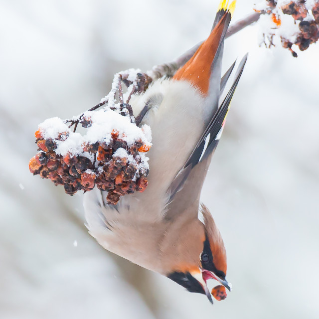 """Waxwing eating berries"" stock image"