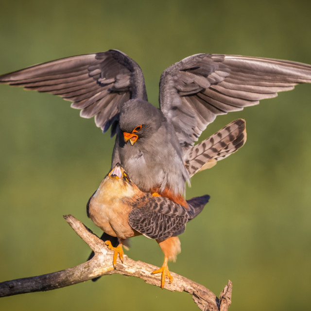 """""""Red footed Falcons mating"""" stock image"""