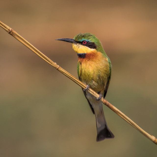 """""""Little Beeeater"""" stock image"""
