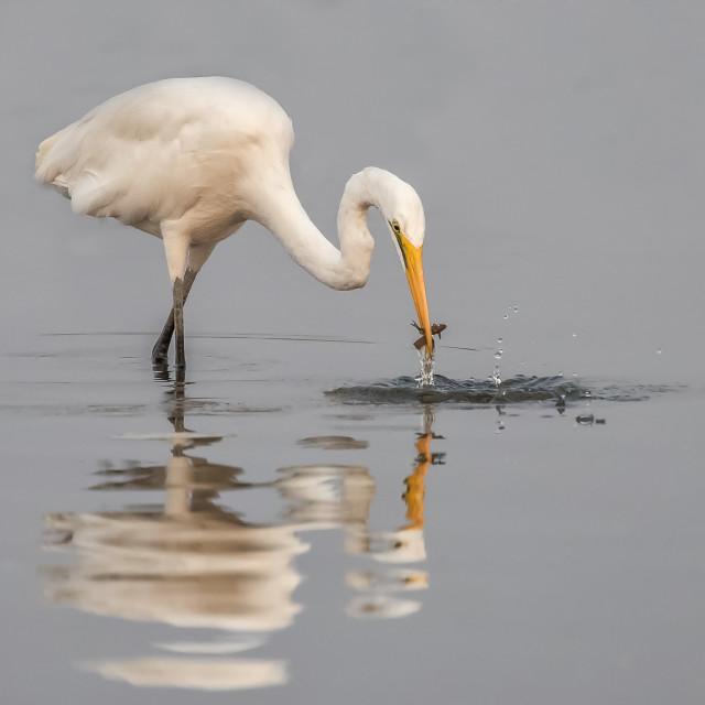 """Great Egret fishing"" stock image"