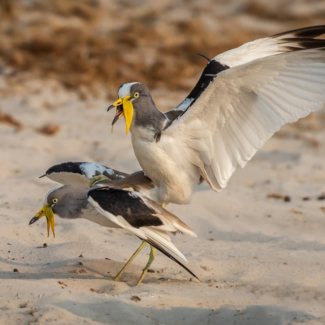 """""""White crowned Lapwings mating"""" stock image"""