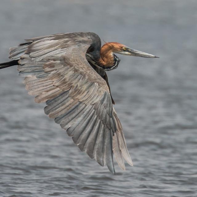 """Goliath Heron in flight"" stock image"