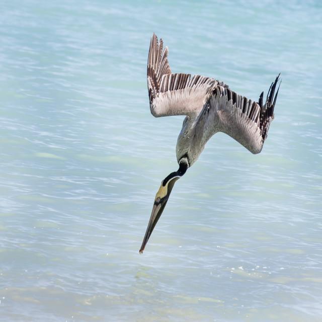 """""""Brown Pelican diving"""" stock image"""
