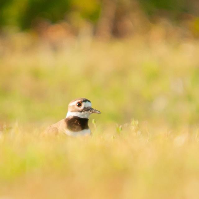 """Killdeer (Charadrius vociferus ) hiding in Grass"" stock image"