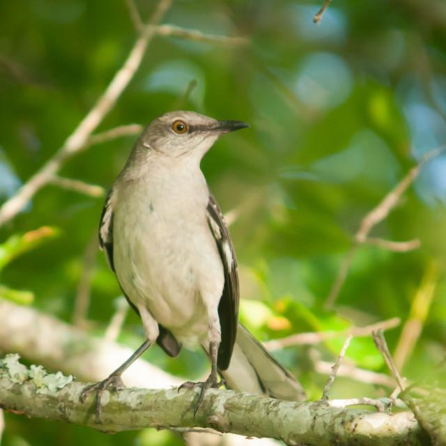"""Mockingbird Portrait (Mimus polyglottos)"" stock image"