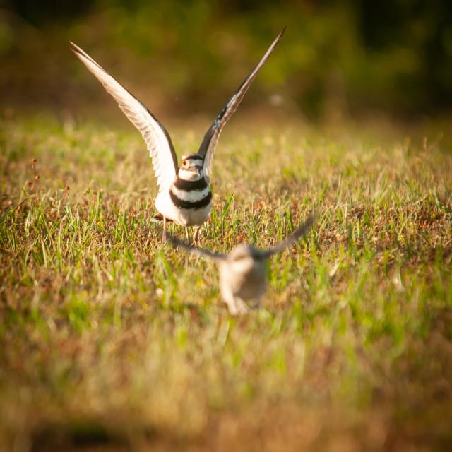 """Killdeer (Charadrius vociferus ) Chasing Away a Baby Mockign Bir"" stock image"