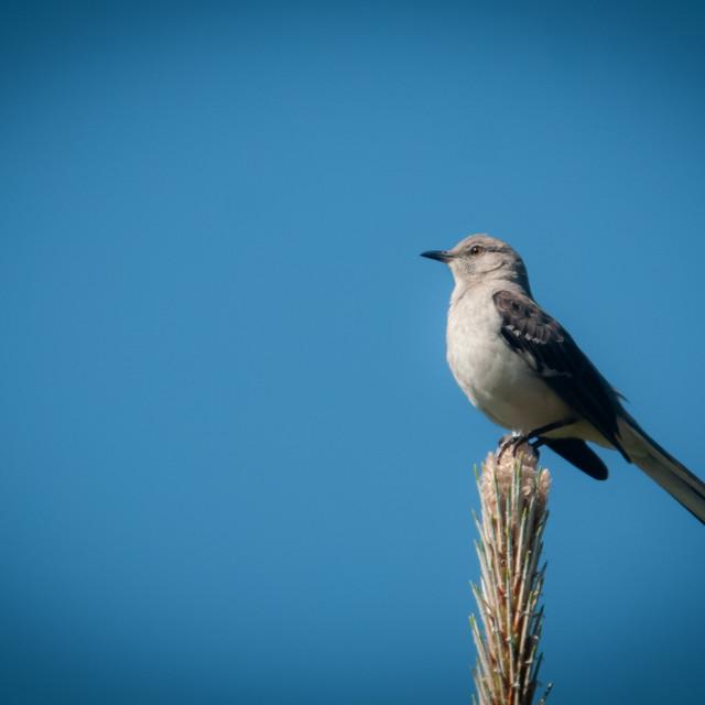 """Northern Mockingbird (Mimus polyglottos)"" stock image"