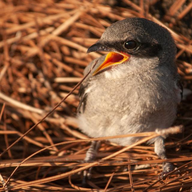 """Baby Mockingbird (Mimus polyglottos) in Nest"" stock image"