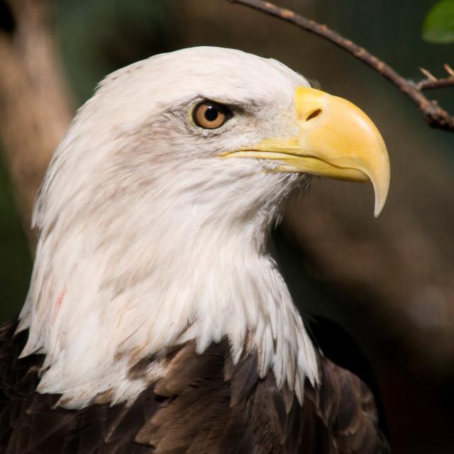 """Bald Eagle (Haliaeetus leucocephalus) Head Shot at Montgomery Zo"" stock image"