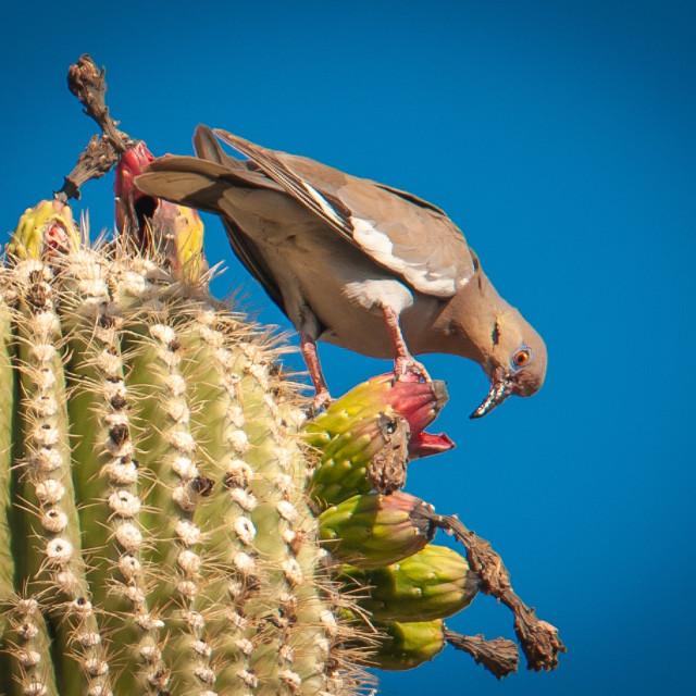 """Mourning Dove (Zenaida doves) on Saguaro Cactus in Arizona"" stock image"