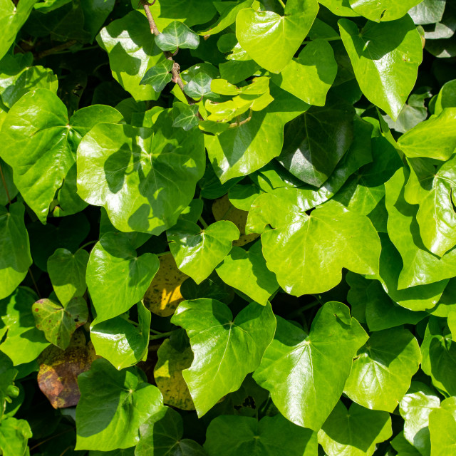 """Ivy Leaves Background"" stock image"