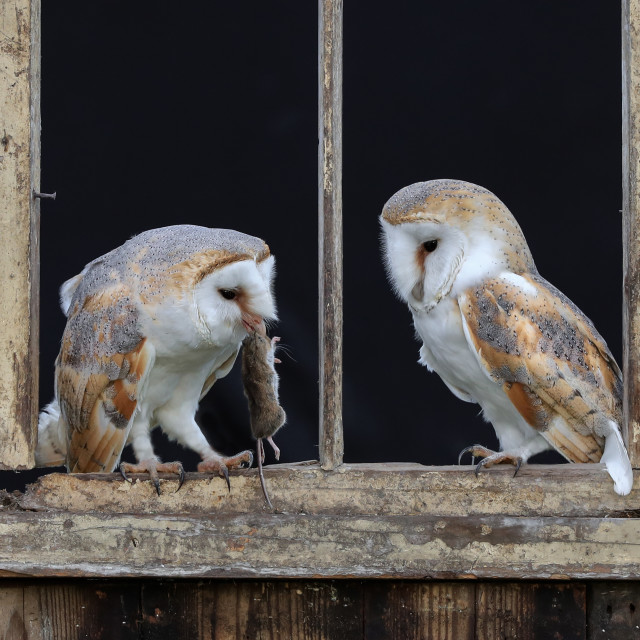 """Barn Owls feeding"" stock image"