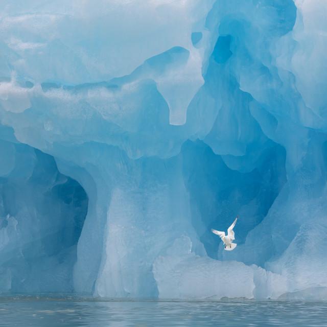 """Gull near the glaciers"" stock image"