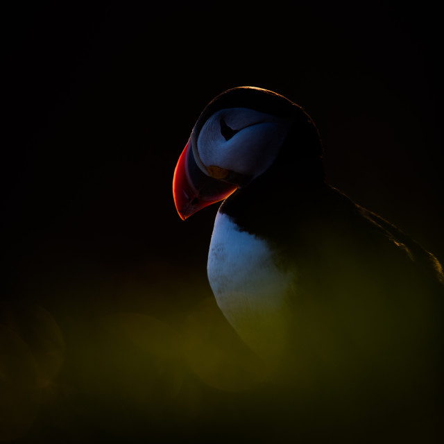 """""""Puffin in the dark"""" stock image"""