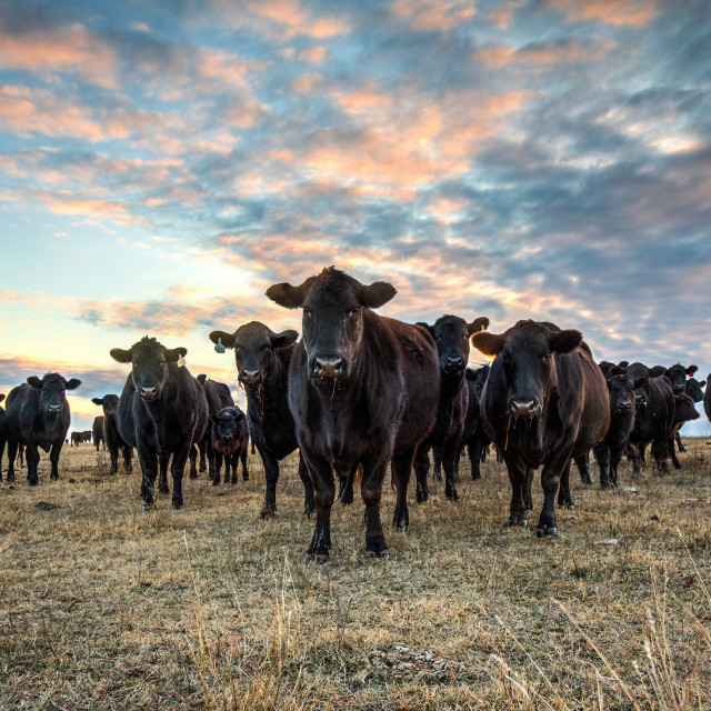 """""""Black Angus cattle at sunset"""" stock image"""