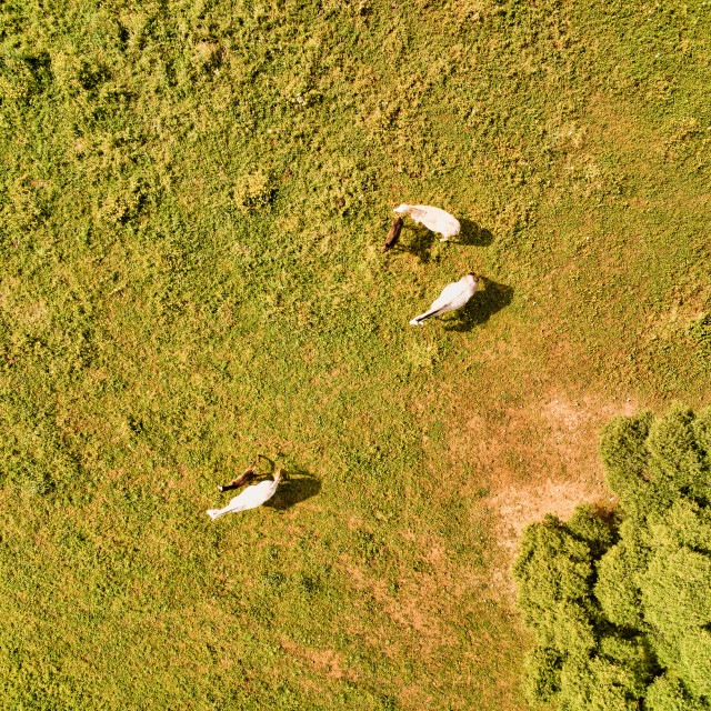 """""""Horses from above eagle view drone photo"""" stock image"""
