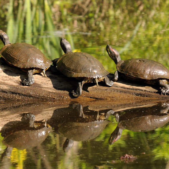 """Three Red-Eared Slider Turtles (Trachemys scripta elegans) on a"" stock image"