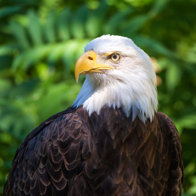 """Bald Eagle Portrait With Green Leaves in the Background"" stock image"