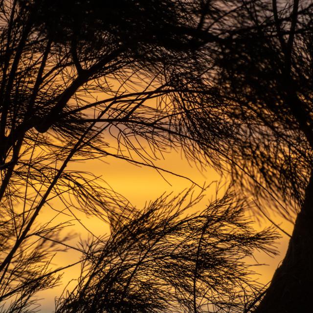 """Silhouette of coastal needle tree branches against orange sunset sky"" stock image"