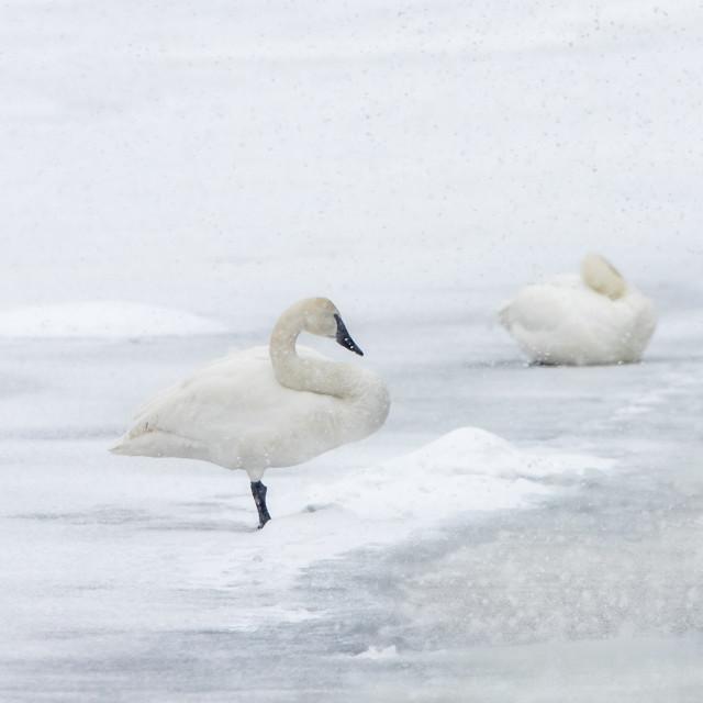 """Trumpeter Swan"" stock image"