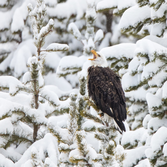 """Bald Eagle in Yellowstone"" stock image"