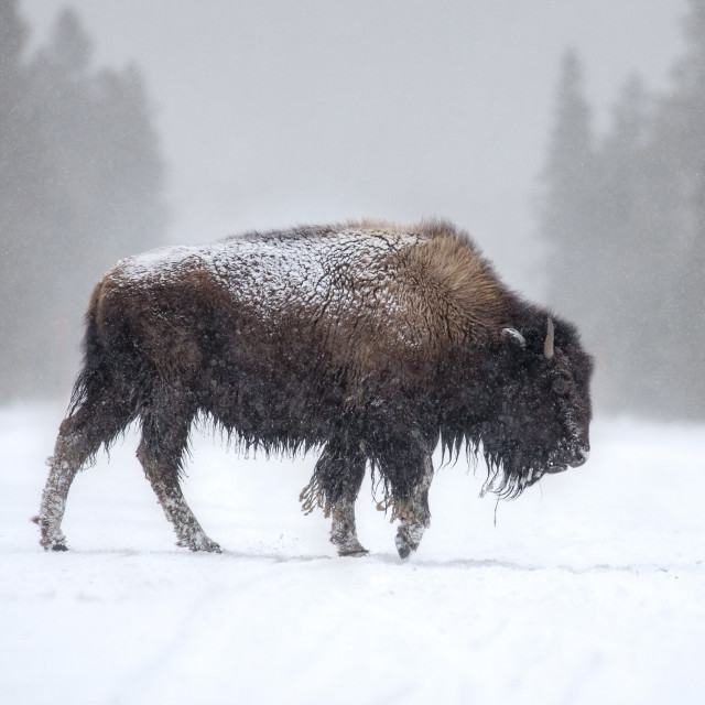 """""""Bison in the snow"""" stock image"""