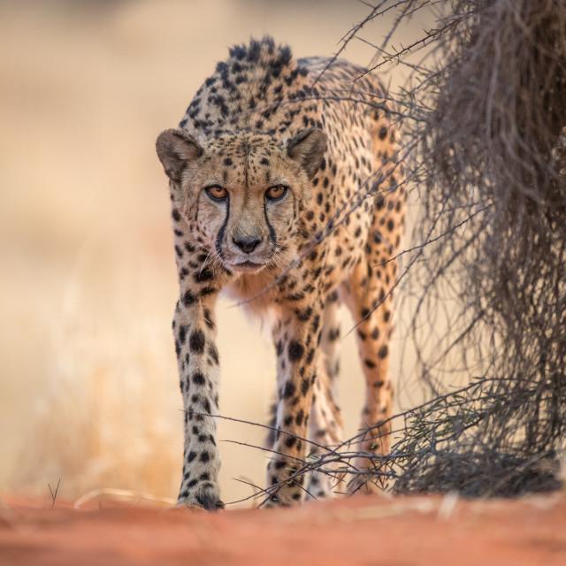 """Cheetah on the prowl"" stock image"