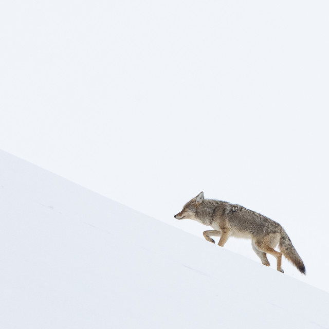 """""""Coyote climbing in the snow"""" stock image"""
