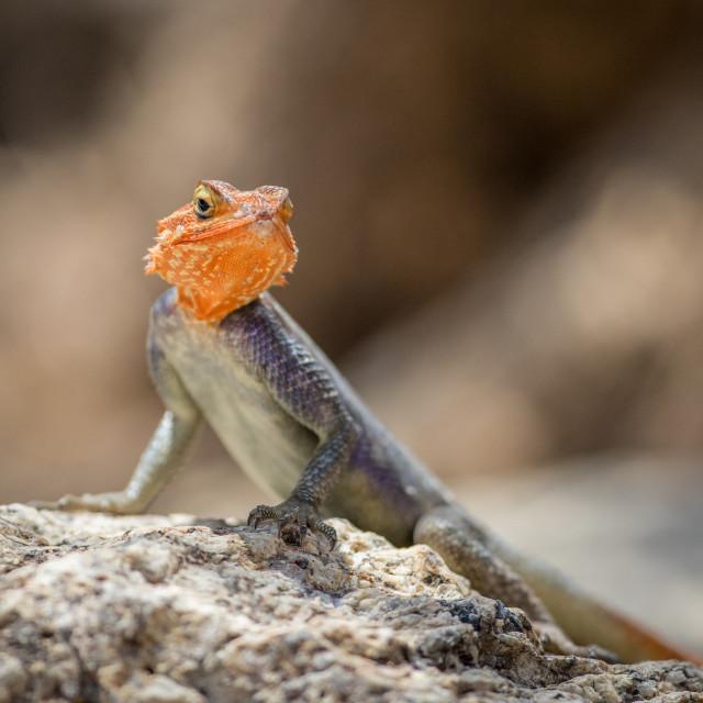 """Agama Lizard"" stock image"