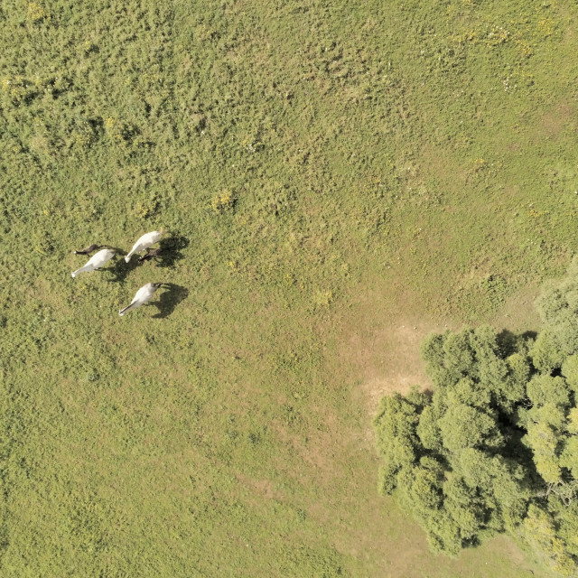 """""""Aerial view, of horses on a grass field"""" stock image"""