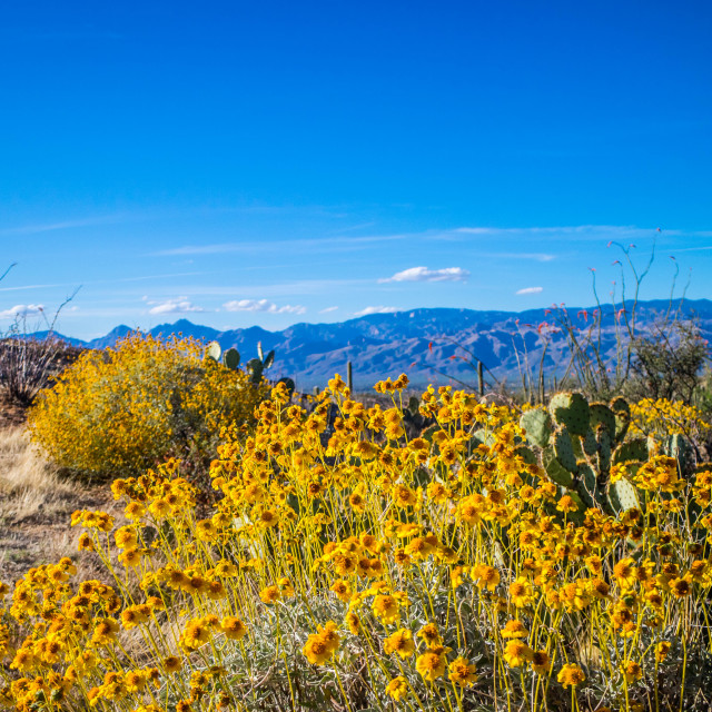 """""""A yellow Wolly Sunflower in Saguaro National Park, Arizona"""" stock image"""