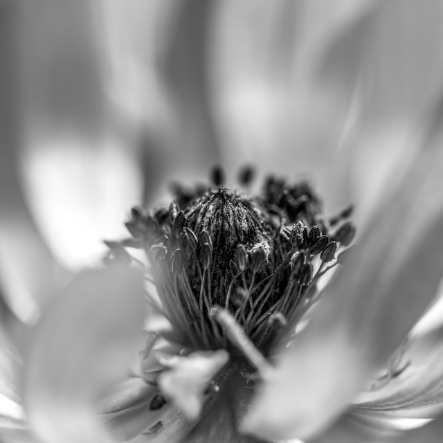 """Black and White Anemone"" stock image"