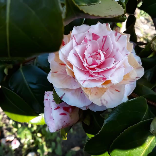 """Camelia Pink Flower!"" stock image"