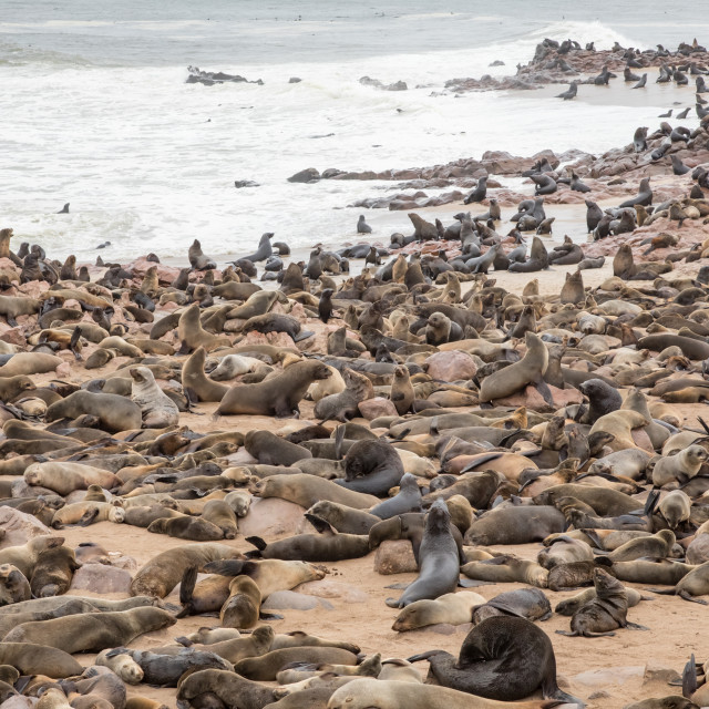 """""""the seal colony of Cape Cross, Namibia"""" stock image"""