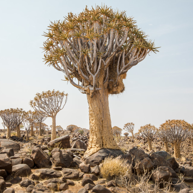 """""""Quiver trees of Namibia"""" stock image"""